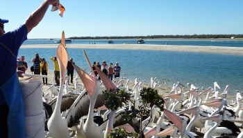 blog-header-pelican-feeding-900x450.fw