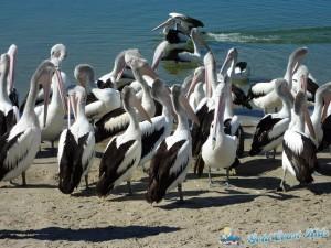 pelicans-labradorP1050405