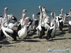 pelicans-labradorP1050409