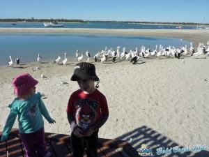 pelicans-labradorP1050436