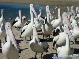 pelicans-labradorP1050447
