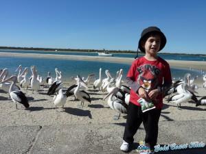 pelicans-labradorP1050452