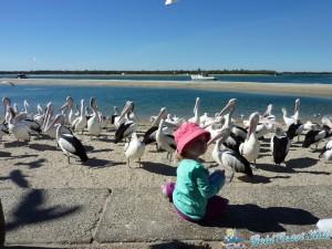 pelicans-labradorP1050454